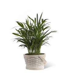 The FTD Deeply Adored(tm) Palm Planter from Ruby's Leesville Florist in Leesville, LA
